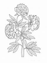 Peony Flower Coloring Pages Flowers Printable Print Recommended sketch template
