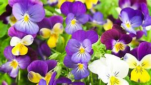 Weidenruten Zum Pflanzen Kaufen : stiefm tterchen tipps zum kaufen pflanzen und pflegen ~ Lizthompson.info Haus und Dekorationen