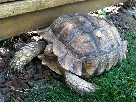 Sulcata Tortoise Bedding by Tips Interesting Sulcata Tortoise Habitat For Outdoor Pet