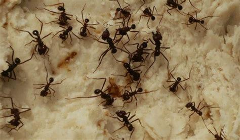 rimedio contro le formiche tutto