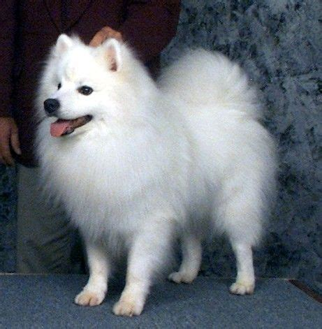 pomimo dog american eskimo pomeranian mix info  pictures
