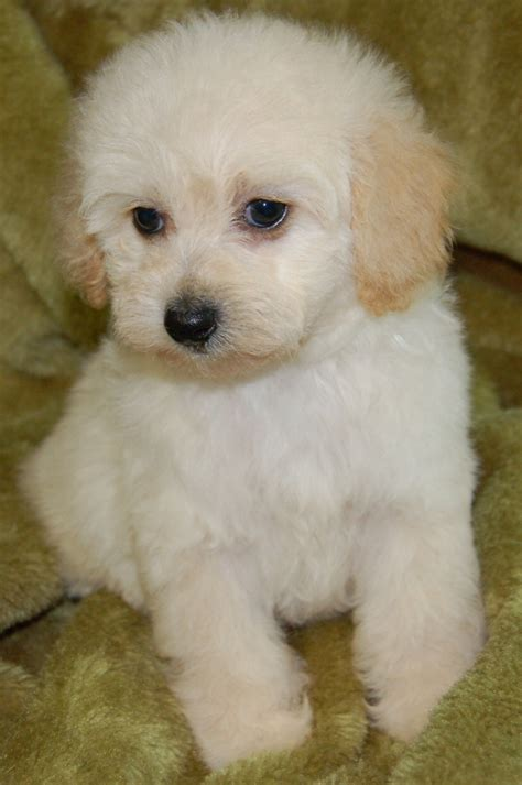 Do Morkie Poos Shed by Maltipoos