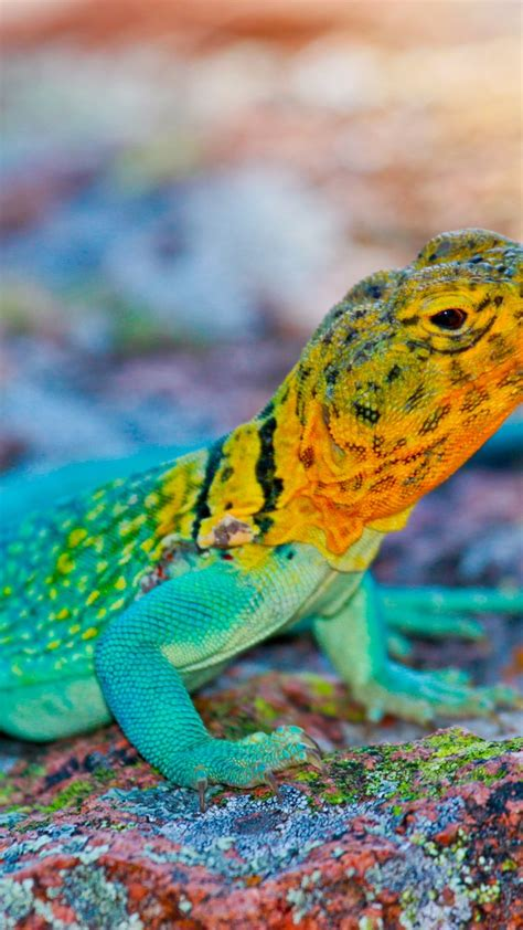 wallpaper crotaphytus collaris mexico lizard colorful