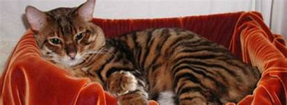 toyger cats toyger information health pictures pet paw