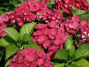 Hortensie Wims Red : bauernhortensie 39 red baron 39 hydrangea macrophylla 39 red ~ Michelbontemps.com Haus und Dekorationen
