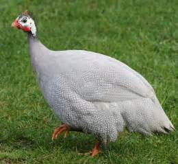 lavender guinea fowl guinea keets for sale cackle hatchery