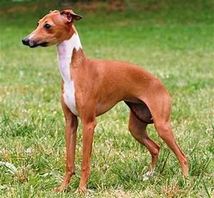 About Dog Italian Greyhound