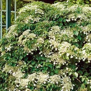 Rankpflanzen Winterhart Immergrün : kletterhortensie semiola r immergr ne pflanzen ~ A.2002-acura-tl-radio.info Haus und Dekorationen