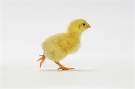 yellow baby chicken photograph by kitchin hurst