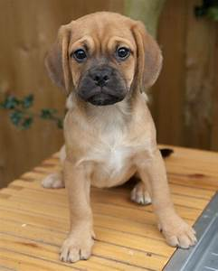 puggle puppies for sale egham