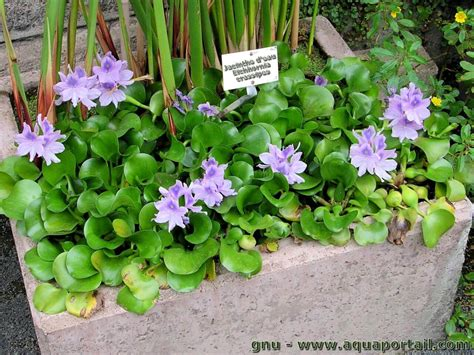 eichhornia crassipes jacinthe d eau plantation culture