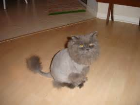 cut for cats cut haircut cat