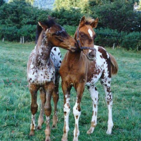 appaloosa horses horse foals baby cute babies pretty appaloosas adorable wild animals foal ponies appy gorgeous spotted farm babys pair