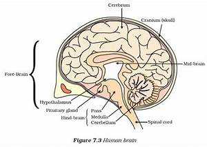 Draw A Diagram Of Human Brain And Label On It Cerebrum