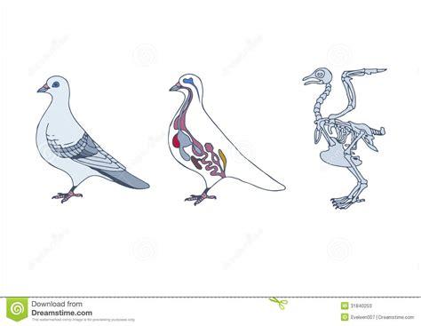 bird cross section  skeleton stock vector image