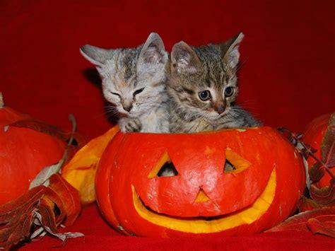 Cute Cat Halloween Wallpaper - WallpaperSafari