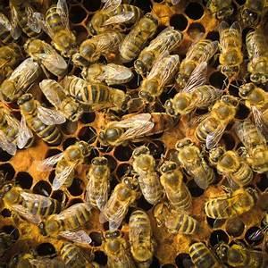 Warum Machen Bienen Honig : alles begann mit einem schwarm bienen honig pollen propolis ~ Whattoseeinmadrid.com Haus und Dekorationen