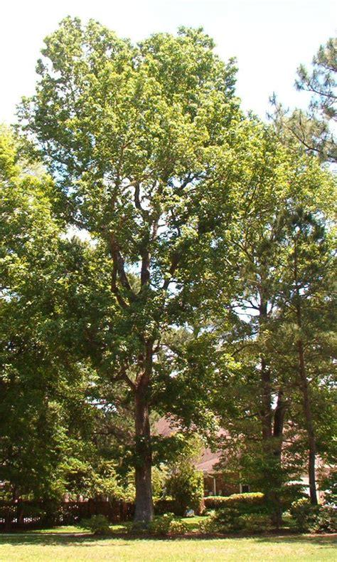 sweet gum tree mount pleasant charleston columbia sc trees