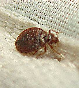 bedbugs in mattress covers With bedbugs on mattress