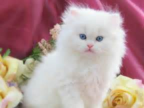 white cat with blue white cat blue hd pictures wallpaperscharlie