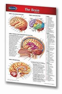 Human Brain Chart - Laminated Pocket Size