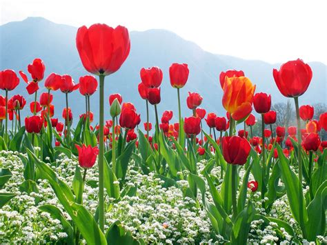 3d Wallpapers For Laptop Wallpapers Red Tulips Wallpapers