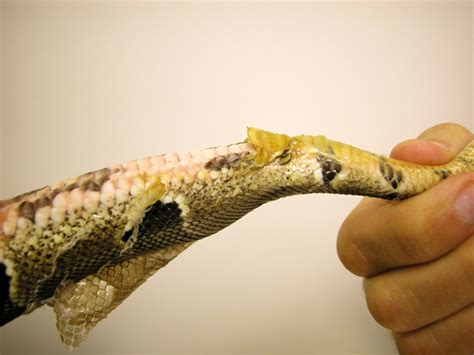 Corn Snake Shedding Problems by Snake Health 101