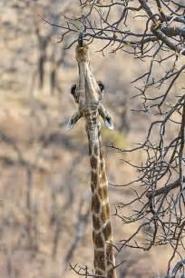 Giraffe Eating Animals