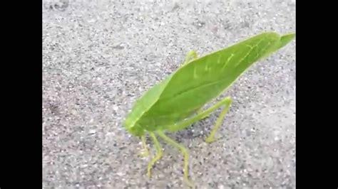 Katydid Green Insect Looks Like A Leaf Youtube