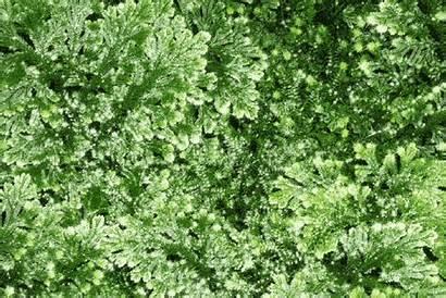 Herb Sanjivani Medicinal Indian India Proposes Lore