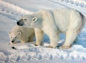 Declining polar bear weights and early breakup dates in ...