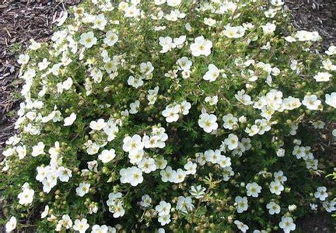 Potentilla fruticosa 'Abbotswood' - Parastā klinšrozīte