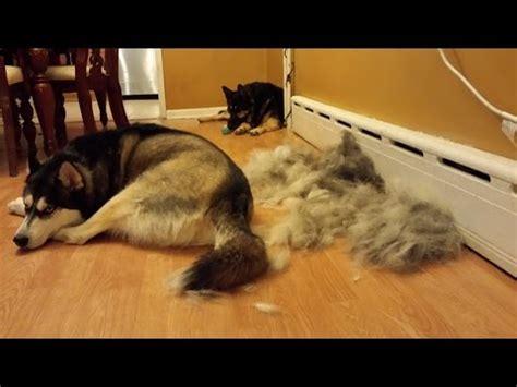 siberian husky and german shepherd extreme shedding youtube