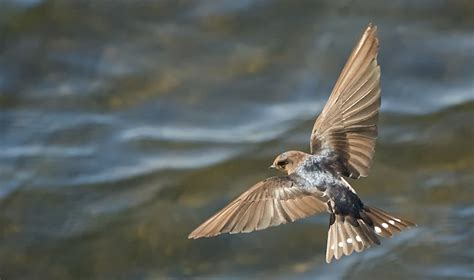 image gallery swallow wings