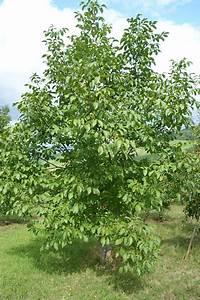 Walnussbaum Selber Pflanzen : walnussbaum pflanzen an einem walnussbaum wachsen sowohl ~ Michelbontemps.com Haus und Dekorationen