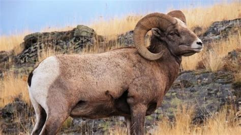 do bighorn sheep shed their horns trophy stunting the horns of bighorn sheep study