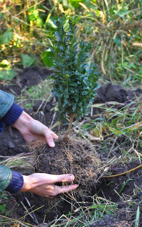 wann pflanzen wann buchsbaum pflanzen 187 der beste zeitpunkt