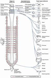 Divisions Of The Autonomic Nervous System  U00b7 Anatomy And