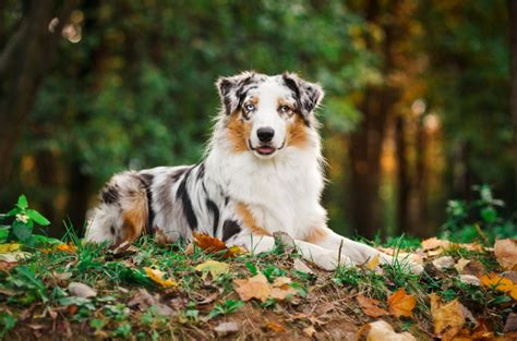 smartest dog breeds australian shepherd last
