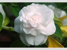 Lotus flower wikipedia free encyclopedia hotelio filelotus motifjpg wikipedia doubleflowered wikipedia mightylinksfo