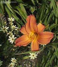 Copper Colored Garden Flowers