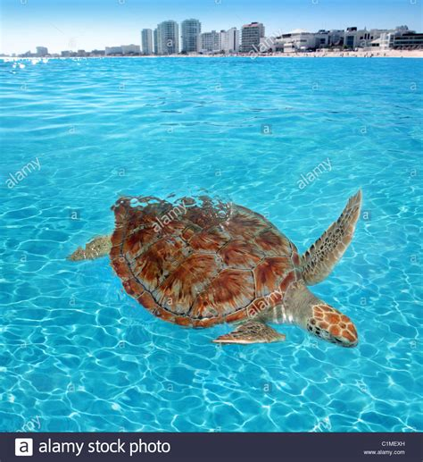 Green Sea Turtle Caribbean Sea Surface Cancun Mexico