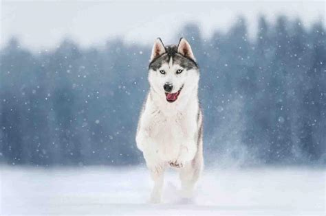 cute husky wallpaper for android apk download