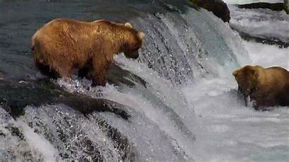 Bears Fishing Salmon Google Falls Bear Brown