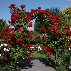 Rosen Für Rosenbogen : perfekter rosenbogen rosen ratgeber informatives rosen online kaufen im rosenhof schultheis ~ Orissabook.com Haus und Dekorationen