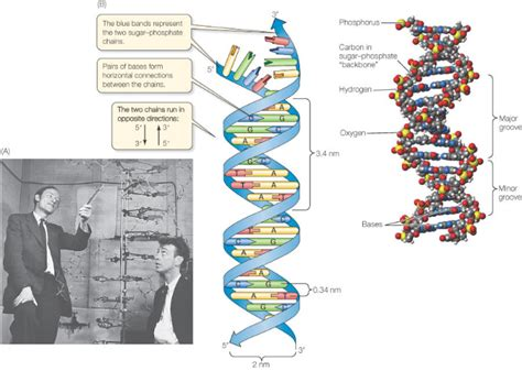 Dna The Genetic Material (10th-biology-lesson-17.4