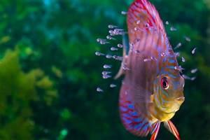 Aquarium Fische Süßwasser Liste : how do all those fish get into those aquariums ~ Watch28wear.com Haus und Dekorationen