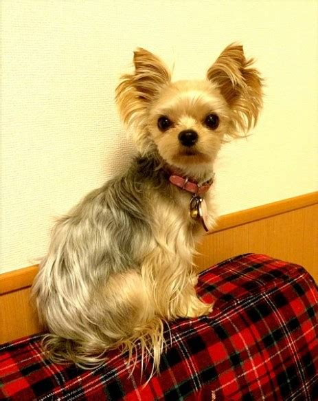 How To Get Ready For  Ee  Yorkie Ee    Ee  Adoption Ee