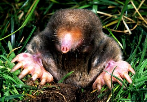 Baby Ground Mole  Amazing Wallpapers