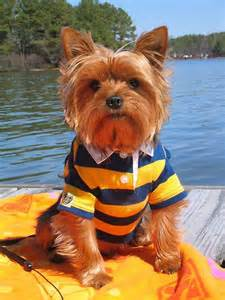 Dog Yorkie Yorkshire Terrier
